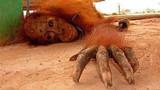 Endonezya'da orangutanlar seks işçisi olarak kullanılıyor - Hayvan Genelevleri nedir?