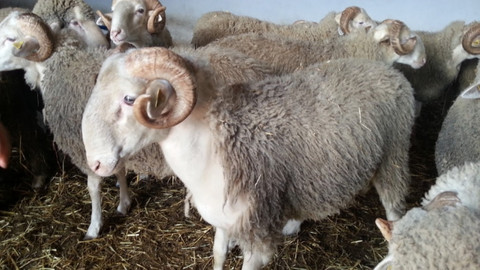 Köyüne dönene 300 damızlık koyun verilecek. 300 damızlık koyun şartları neler?