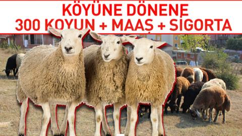 Tarım Bakanlığı köyüne dönene 300 koyun hibe ediyor - 300 koyun hibe şartları neler?