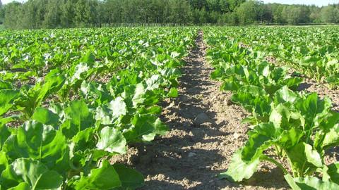 Hollanda'da şeker pancarı üretim alanları arttı