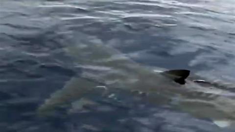 Bodrum'da köpek balığı görüntülendi