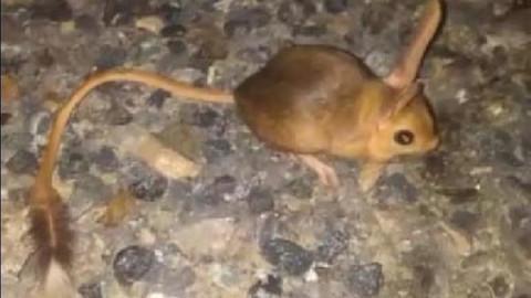 Kanguru faresi aç kaldığında insan burnu yiyor