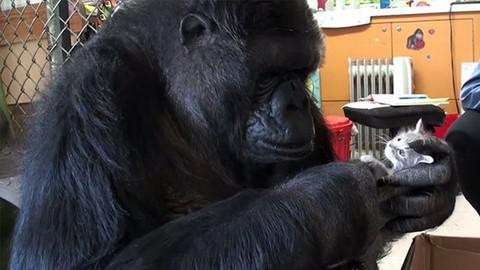 Konuşan goril Koko öldü
