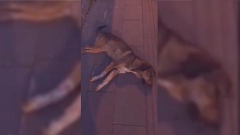 Amasya'da sokak köpeklerinin canlı canlı öldürüldüğü iddiası
