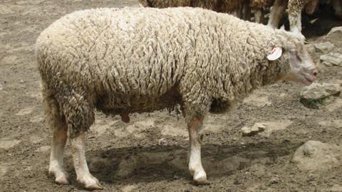 Koyun vebası nedir, insanlara bulaşır mı?