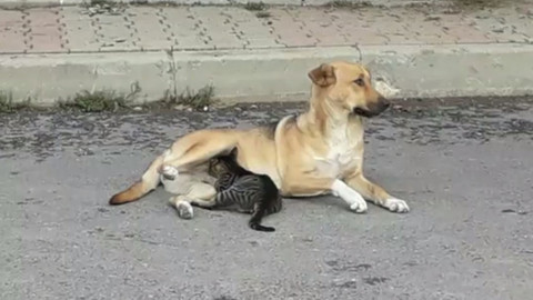 Köpek yavru kediyi emzirdi