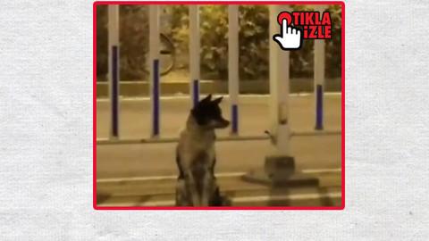 Çin'de 2. Hachiko! Tam 80 gündür aynı yerde bekliyor
