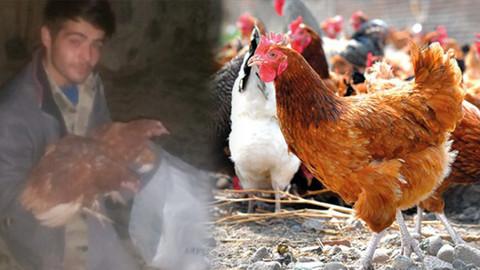 Ölüme terk edilen tavukları kurtardı