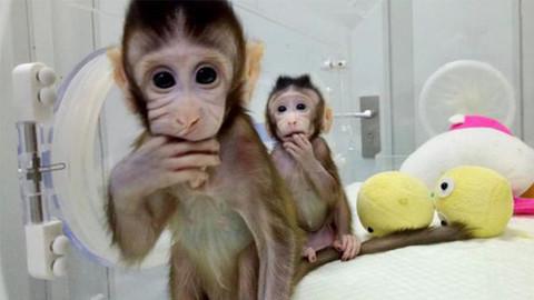 Makak maymununu klonladılar!