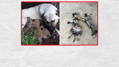 Bir katliam haberi de Balıkesir'den geldi! Kedi ve köpekleri zehirlediler