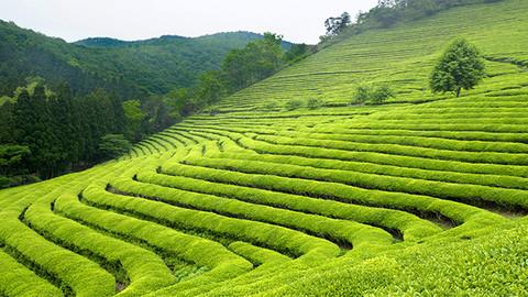 2019 yaş çay alım fiyatı belli oldu