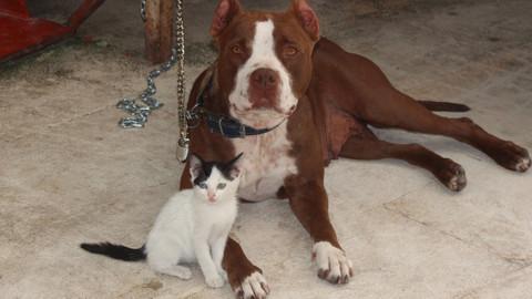 Pitbulldan yavru kediye anne şefkati
