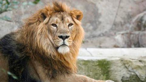 Hindistan'da Covid hayvanlara sıçradı! Sekiz aslan virüse yakalandı