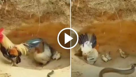 Yılan civcivlere saldırdı! Horoz kaçtı, anne tavuk ölümüne kafa tuttu