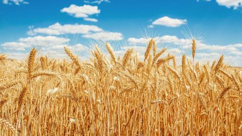 Uzmanlardan buğday krizi uyarısı: Kuraklık 'Türkiye'nin tahıl ambarı'nı vurdu