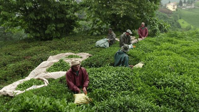 Organik çay nedir, faydaları nelerdir, neden organik çay tarımına geçmeliyiz?