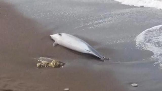 Düzce sahilinde ölü yunus bulundu