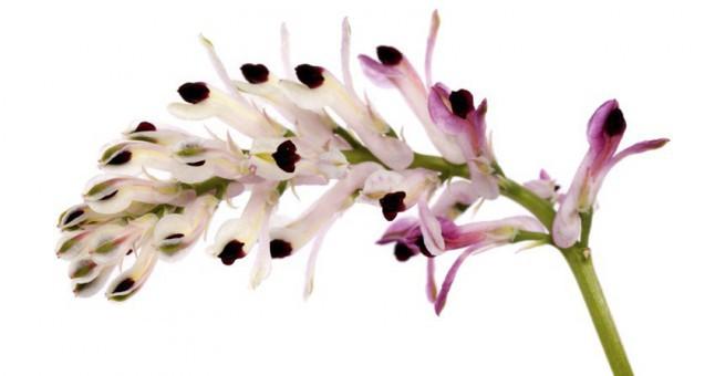 Kuru öksürük bitkisel tedavi yöntemleri, kuru öksürüğü ne geçirir?