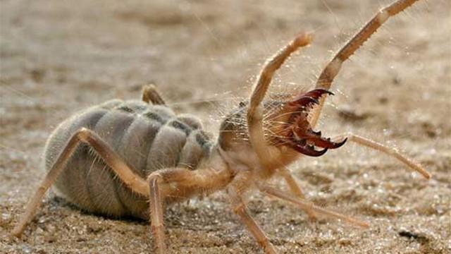 Korkunç örümcek Sivas'ta ortaya çıktı