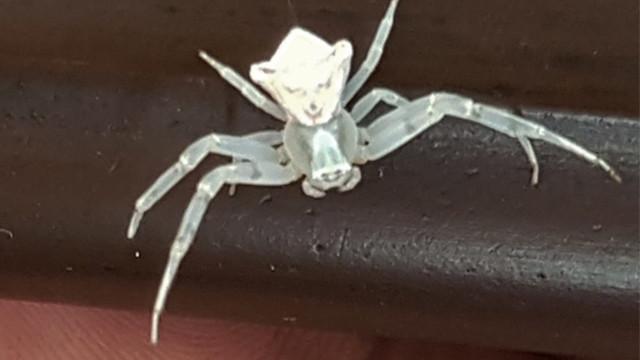 İnsan yüzlü yengeç örümceği