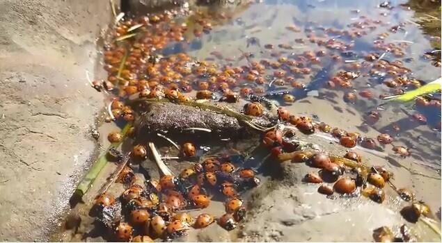Toplu uğur böceği ölümleri - Sayfa 1