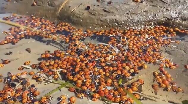 Toplu uğur böceği ölümleri - Sayfa 4