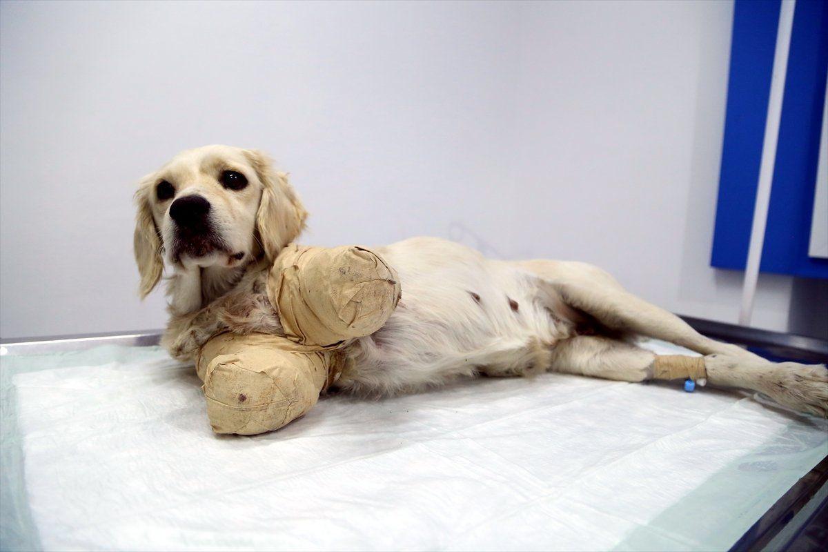 Samsun'da bacakları kesilmiş halde bulunan köpekten iyi haber - Sayfa 1
