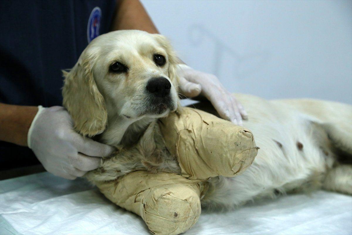 Samsun'da bacakları kesilmiş halde bulunan köpekten iyi haber - Sayfa 3