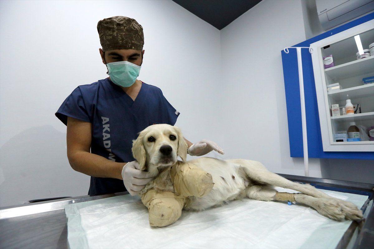 Samsun'da bacakları kesilmiş halde bulunan köpekten iyi haber - Sayfa 4