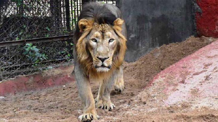 Hindistan'da Covid hayvanlara sıçradı! Sekiz aslan virüse yakalandı - Sayfa 3